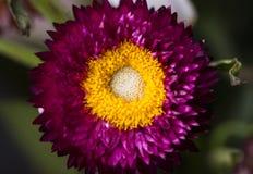 Красивая хризантема, лепестки малые части Стоковая Фотография RF