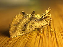 Красивая цвета золот совершенно закамуфлированная бабочка ночи Стоковое Фото