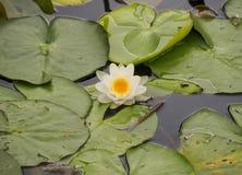 Красивая цветя лилия воды в канале голландского города Vlaardingen стоковое изображение rf