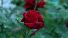 Красивая цветя роза шарлаха бутона цветет в саде роз Зеленая расплывчатая предпосылка природы с местом для текста Стоковая Фотография