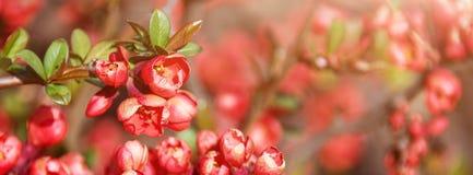Красивая цветя японская вишня Сакура Предпосылка с крупным планом цветков на весенний день Знамя для вебсайта Стоковые Фотографии RF
