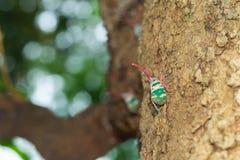 Красивая цикада, нашивки зеленого цвета Pyrops candelaria на дереве Стоковая Фотография