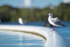 Красивая чайка стоковые фотографии rf