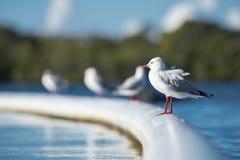 Красивая чайка стоковое изображение rf
