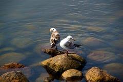 Красивая чайка птицы на утесах морем Стоковые Изображения