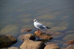 Красивая чайка птицы на утесах морем Стоковые Фото
