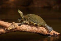 Красивая черепаха в реке Красно-ушастый слайдер, scriptta Trachemys Черепаха в среду обитания реки природы Черепаха сидя на Стоковые Фотографии RF