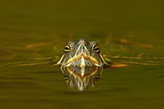 Красивая черепаха в реке Красно-ушастый слайдер, scriptta Trachemys Черепаха в среду обитания реки природы Portra стороны детали  Стоковая Фотография RF