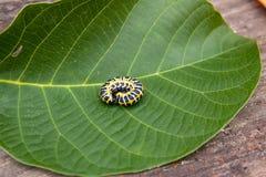 Красивая черная и желтая гусеница проползает на больших зеленых лист Стоковые Изображения