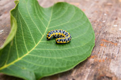 Красивая черная и желтая гусеница проползает на больших зеленых лист Стоковая Фотография