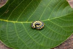 Красивая черная и желтая гусеница проползает на больших зеленых лист Стоковые Изображения RF