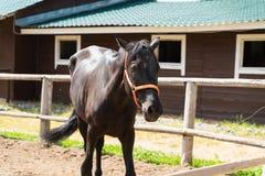 Красивая черная лошадь с оранжевой уздечкой идет на поле стоковое фото rf