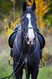 Красивая черная лошадь в лесе Стоковые Изображения