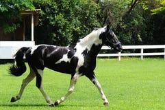Красивая черно-белая лошадь в поле стоковые изображения rf
