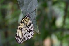 Красивая черно-белая бабочка на зеленых лист Стоковые Изображения