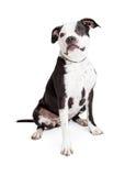 Красивая черно-белая собака питбуля Стоковая Фотография RF