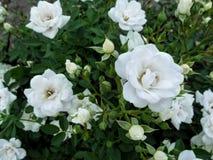 Красивая элегантная флористическая предпосылка с чувствительными белыми розами для wedding дизайна Стоковые Фотографии RF