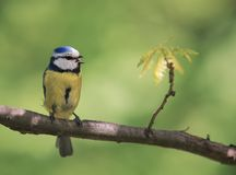 Красивая яркая маленькая синица птицы сидя на ветви в парке Стоковое Изображение