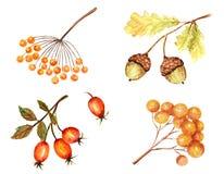 Красивая яркая осень листает сезонный, жолудь природы, осеннее ботаническое изолированный на белой предпосылке иллюстрация штока