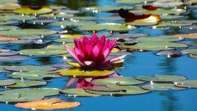 Красивая blossoming красная лилия в пруде лета стоковое фото rf