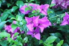 Красивая magenta бугинвилия цветет (glabra Ch бугинвилии Стоковые Изображения