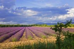 красивейшая лаванда полей Valensole, Провансаль стоковая фотография
