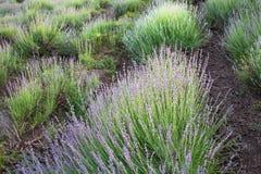 красивейшая лаванда поля Стоковое Фото