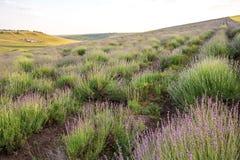 красивейшая лаванда поля Стоковая Фотография RF