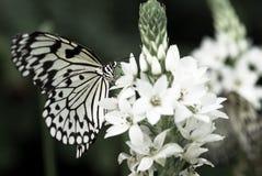 красивейшая бабочка Стоковое Фото