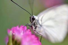 красивейшая белизна бабочки Стоковая Фотография
