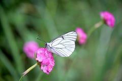 красивейшая белизна бабочки Стоковое Изображение