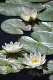 красивейшая белизна воды лилии Стоковое Фото