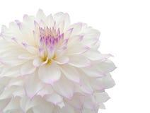 красивейшая белизна георгина Стоковые Фото