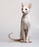 красивейшая белизна кота Стоковые Фотографии RF