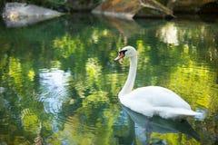 красивейшая белизна лебедя Стоковые Фотографии RF