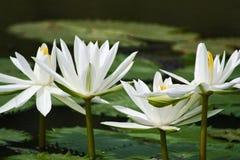 красивейшая белизна лотоса Стоковая Фотография