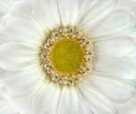 красивейшая белизна макроса gerbera цветка крупного плана Стоковая Фотография RF