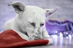красивейшая белизна собаки фото мати шлема claus рождества младенца играя s santa совместно нося Новый Год рождества счастливое в Стоковые Изображения