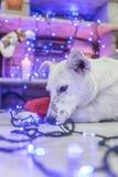 красивейшая белизна собаки фото мати шлема claus рождества младенца играя s santa совместно нося Новый Год рождества счастливое в Стоковая Фотография
