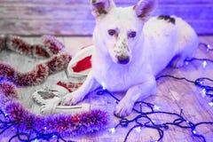 красивейшая белизна собаки фото мати шлема claus рождества младенца играя s santa совместно нося Новый Год рождества счастливое в Стоковая Фотография RF