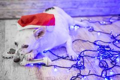 красивейшая белизна собаки фото мати шлема claus рождества младенца играя s santa совместно нося Новый Год рождества счастливое в Стоковое Изображение RF