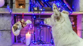 красивейшая белизна собаки фото мати шлема claus рождества младенца играя s santa совместно нося Новый Год рождества счастливое в Стоковые Фото