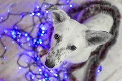 красивейшая белизна собаки фото мати шлема claus рождества младенца играя s santa совместно нося Новый Год рождества счастливое в Стоковое Фото
