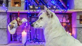 красивейшая белизна собаки фото мати шлема claus рождества младенца играя s santa совместно нося Новый Год рождества счастливое в Стоковое фото RF