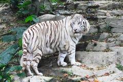 красивейшая белизна тигра Стоковая Фотография