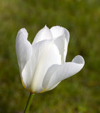красивейшая белизна тюльпана крупного плана Стоковая Фотография
