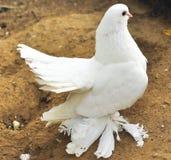 красивейшая белизна dove стоковое изображение