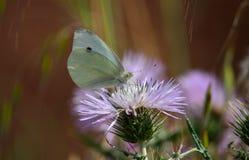 красивейшая белизна бабочки Стоковая Фотография RF