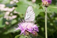 красивейшая белизна бабочки Стоковые Фотографии RF