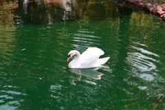 красивейшая белизна лебедя Стоковое Изображение RF
